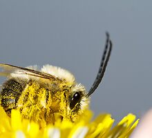 long horned bee by Mauro Rodrigues