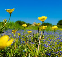 Buttercup Meadow by JEZ22