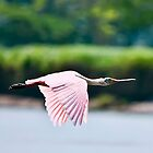 Pink Heron in flight no2 by Sylvain Dumas