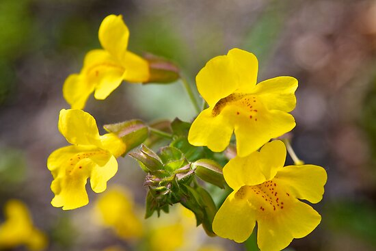 Seep-Spring Monkey Flower by John Butler