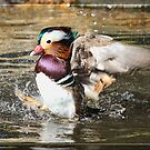 Mandarin Duck by alan tunnicliffe