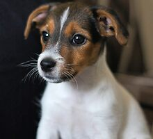 Jack Russell puppy by flashcompact
