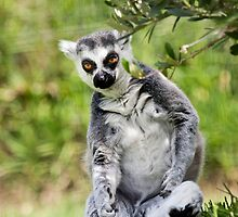 Ring-tailed Lemur by Mauro Rodrigues
