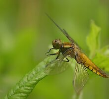 A broad bodied chaser dragonfly at rest by miradorpictures