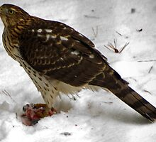 Survival of the Red Tailed Hawk  by Robert Burdick