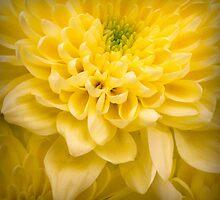 Chrysanthemum Flower by Ian Barber