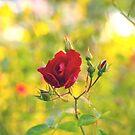 happy rose... by Allan  Erickson