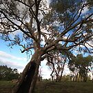 River Red Gum by Joy Watson