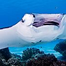 Open Wide ~ Manta being cleaned by Karen Willshaw