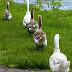 Geese All in a Row by Mark Fendrick
