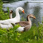 Geese by the Water by Mark Fendrick