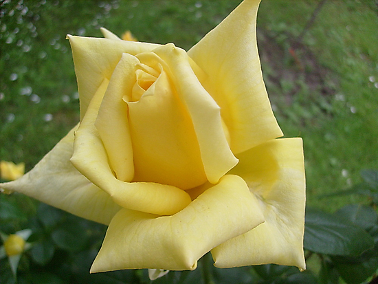 Yellow roses, delicate roses by Ana Belaj