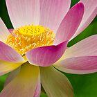 Lotus in the Japanese Garden by Lightengr