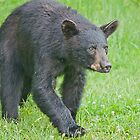 American Black Bear  by Gaby Swanson  Photography