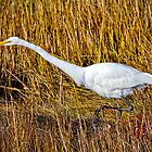 Great Egret Stalking its Prey by Lightengr