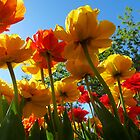 Tulips 8 by photonista