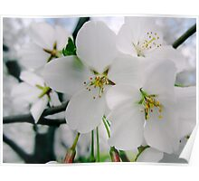 Cherry Blossoms 4 Poster