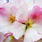 Cherry Blossoms 8 by photonista