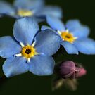 Forget-Me-Nots 3 by photonista
