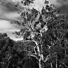 Trawool eucalypt by Anthony Cook