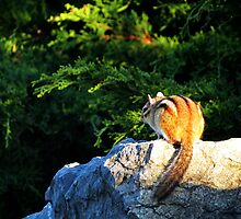Chipmunk 1 by photonista