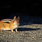 Chipmunk 2 by photonista