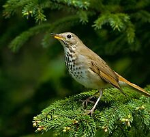 Hermit Thrush by Wayne Wood