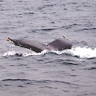 Humpback Whale III by geophotographic