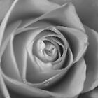 Rose in black and white by pauline hamilton