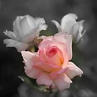 Sherry's Rose.... by zpawpaw