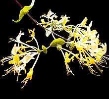 Lonicera sp. by joancaronil