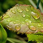 Rain Covered Rose Leaves by Lynn Gedeon