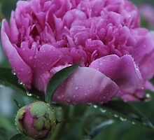 Wet Peony by Stephen Thomas