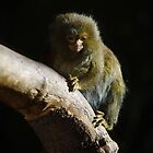 Marmoset  by Samantha Sheldon