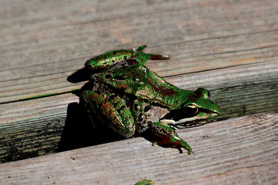 Northern Leopard Frog by Larry Trupp