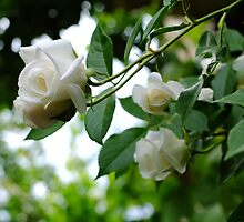 White roses by Ivo Velinov