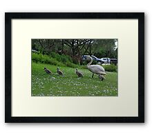 Mother Swan and Cygnets Framed Print
