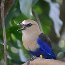 The Blue-bellied Roller by anchorsofhope