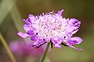 A pink Scabious by Ian Berry