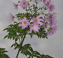Tree Dahlia by davidjc