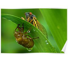 Cicada with Nymphal Skin Poster