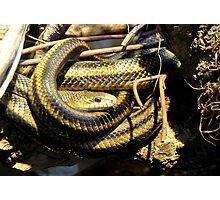 Yellow Rats Snakes In Live Oak  Photographic Print