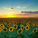 Sunflower Sea by John  De Bord Photography