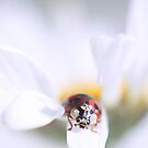 Soft Little Ladybug by Shelly Harris