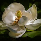 Magnolia by Lightengr