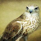 The Saker Falcon Stare by Aj Finan