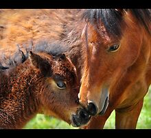 Wild Ponies of the Grayson Highlands by Karen Peron