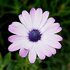 Purple Daisy by pcfyi