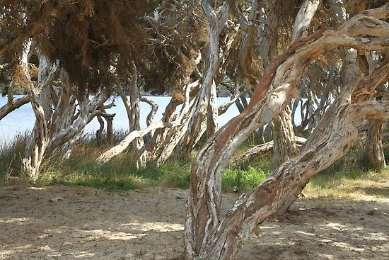 Trees at Nanarup by Elaine Teague