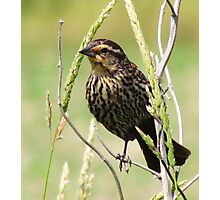 Mrs. Red-winged Blackbird Photographic Print